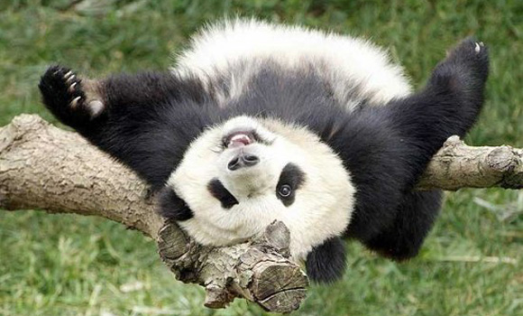AlexPanda. Уроните панду правильно
