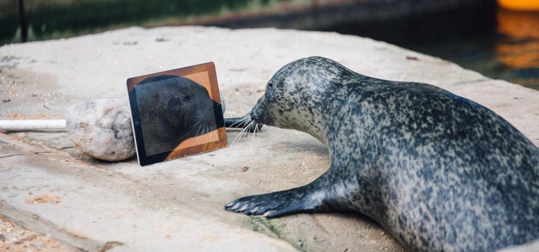 Пара тюленей научилась общаться через FaceTime